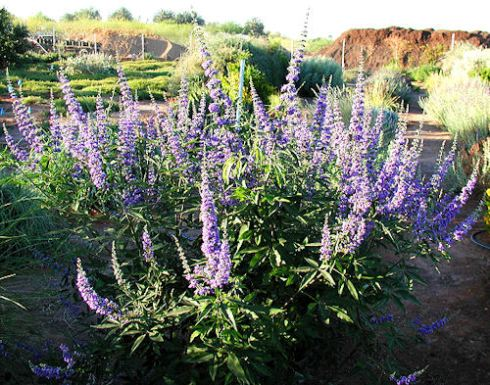 Vitex agnus-castus in bloom