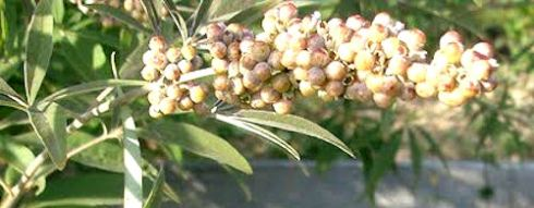 Vitex agnus-castus with young berries