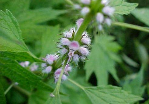 Motherwort flowers