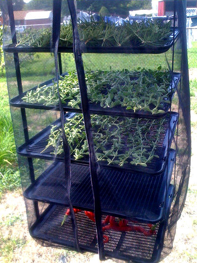 dehydrator - drying herbs