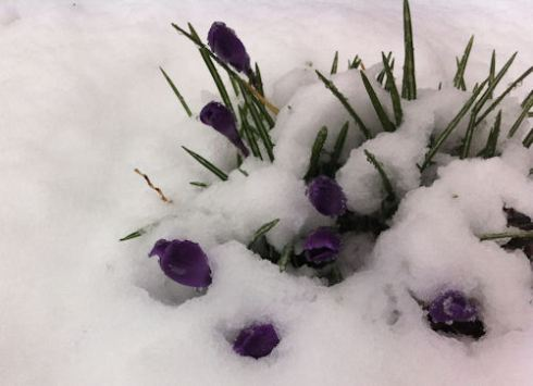Crocuses in a March snow